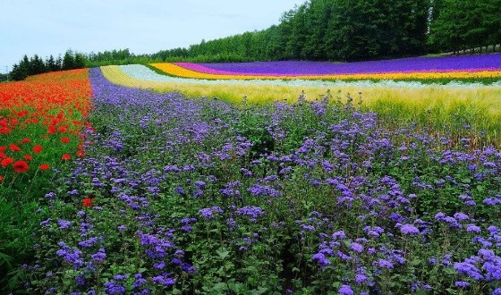 日本北海道夏季薰衣草4日游