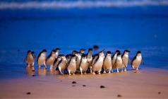 【新春特辑】澳大利亚墨尔本企鹅岛+新西兰北岛11日游