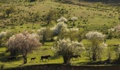 【红山听杏语】新疆天山天池、吐鲁番杏花、火焰山、库木塔格沙漠双飞6日游