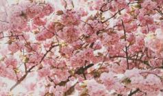 寻樱踏春之旅——日本本州正樱花季6日