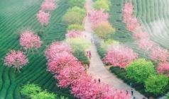 【永福樱花】粉红樱花雨、清新茶园、河坑土楼群、厦门全城春色,浪漫赏花3日游