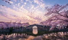 """【""""樱""""你而来】鼋头渚网红樱花、登太湖仙岛、枫桥踏春二日游"""